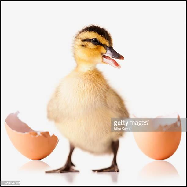 Freshly hatched chick beside broken egg shell