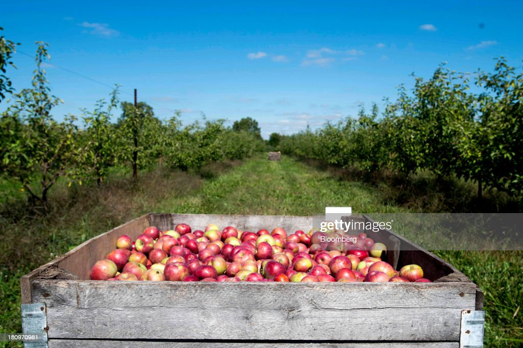 Freshly picked apples sit in a crate waiting to be transported to the processing center at MacQueen Orchards in Holland, Ohio, U.S., on Tuesday, Sept. 17, 2013. Ohio is one of the top ten apple-producing states in the U.S., which overall has about 7,500 apple producers who grow nearly 100 varieties of apples on approximately 363,000 acres, according to the U.S. Apple Association. Photographer: Ty Wright/Bloomberg via Getty Images