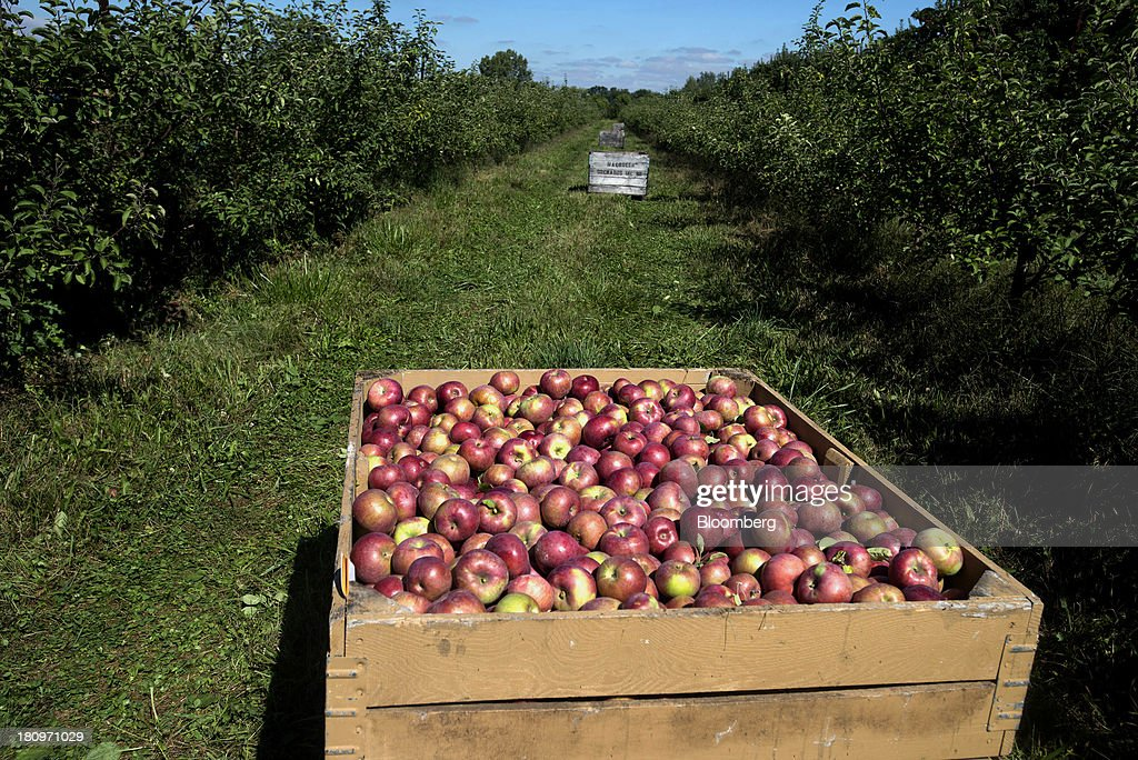 Freshly picked apples sit in crates waiting to be transported to the processing center at MacQueen Orchards in Holland, Ohio, U.S., on Tuesday, Sept. 17, 2013. Ohio is one of the top ten apple-producing states in the U.S., which overall has about 7,500 apple producers who grow nearly 100 varieties of apples on approximately 363,000 acres, according to the U.S. Apple Association. Photographer: Ty Wright/Bloomberg via Getty Images