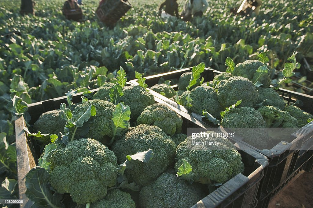 Freshly picked broccoli in crates : Stock Photo
