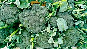 Freshly picked broccoli on display at a farmer's market.