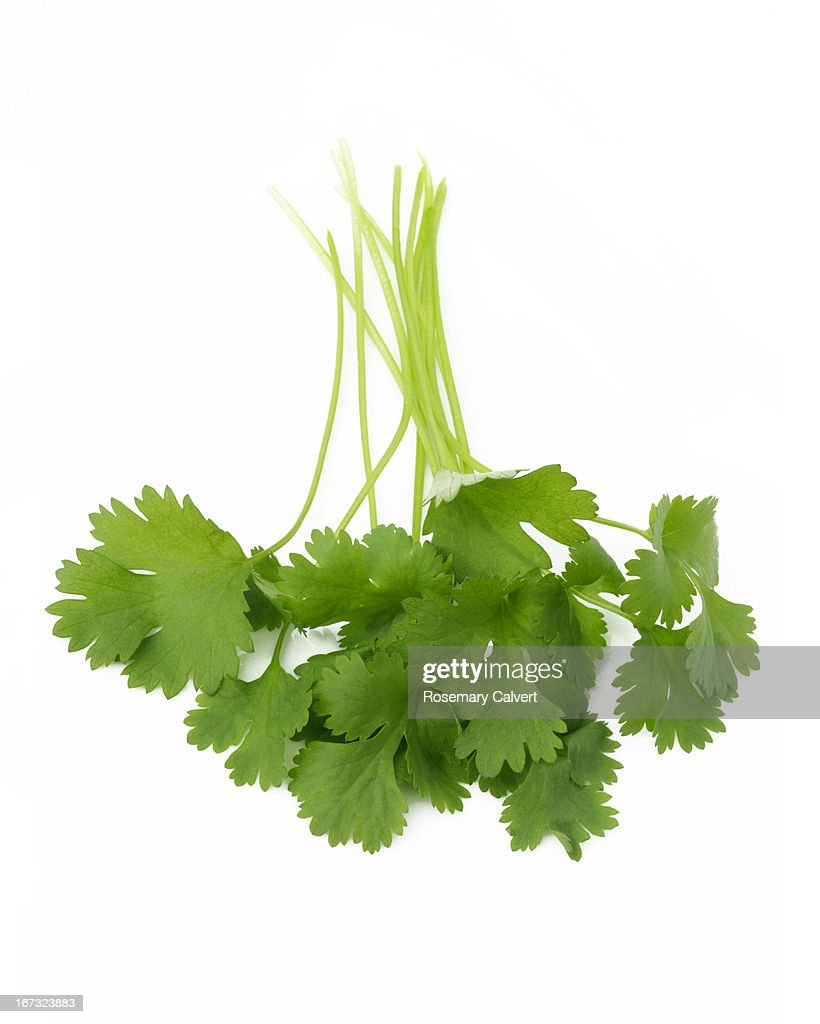 Freshly picked bunch of coriander leaves