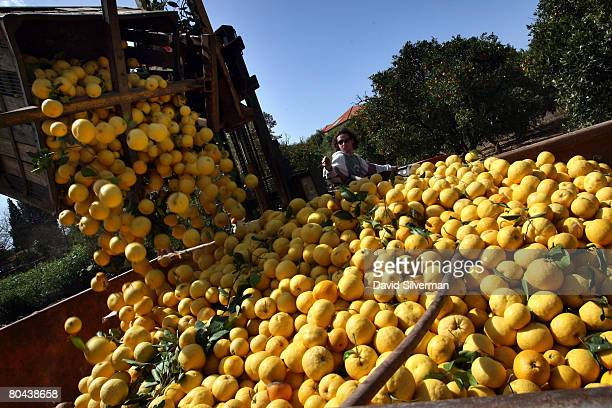 Freshly picked grapefruit are tipped into a container before being trucked to a juice factory on March 11 2008 in the central Israeli town of Hod...