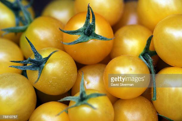 Freshly picked hybrid yellow cherry tomatoes named Summer Sun in a greenhouse February 13 2007 at Moshav Beit Hanan in central Israel One kilogram of...