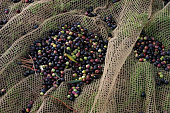 Freshly picked olivastra olives from trees in a grove overlooking the medieval town of Seggiano in Tuscany lie gathered in netting awaiting...
