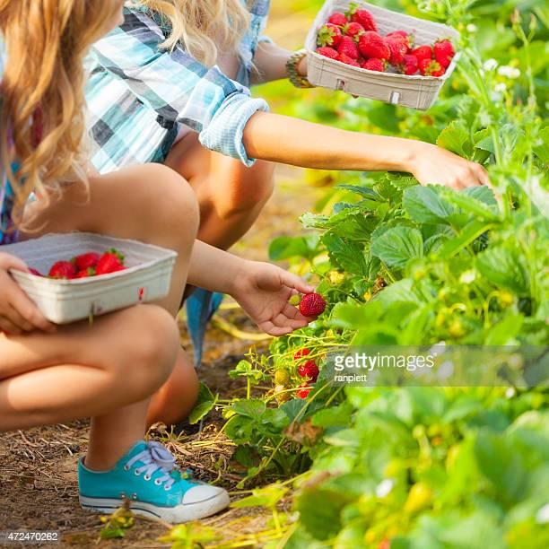 Fraîchement cueillies fraises