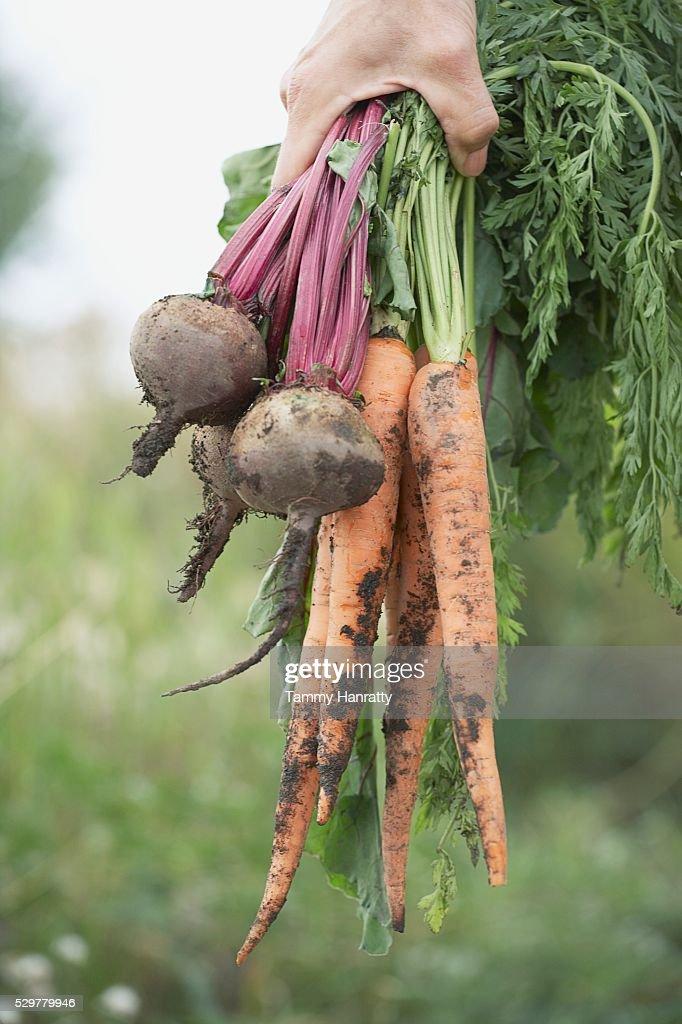 Freshly picked veggies : Stock Photo