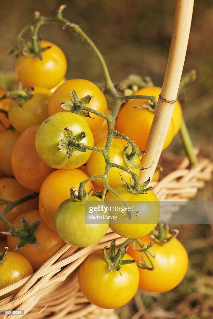 Freshly picked yellow tomatoes on vine in basket.