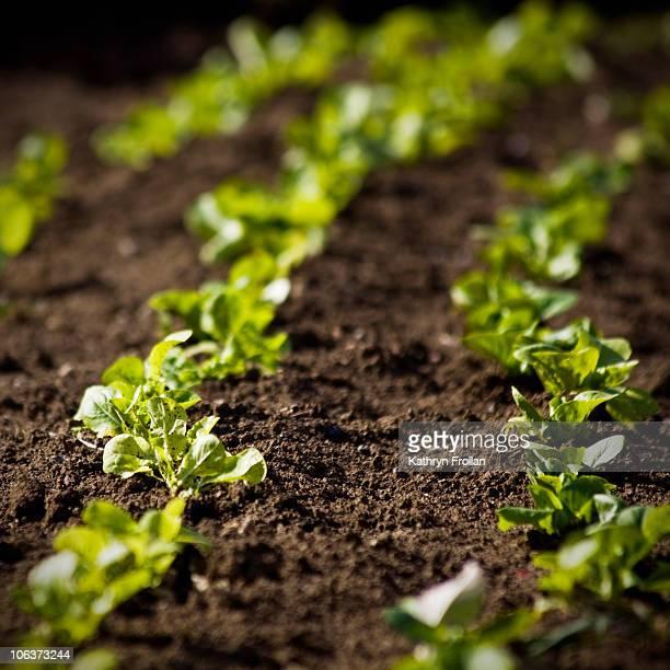Freshly Planted Garden Rows