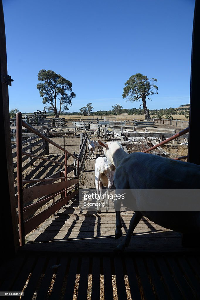 Freshly shorn Border Leicester sheep exit a shearing shed down a wooden ramp to a holding pen near Lancefield, Australia, on Friday, Feb. 8, 2013. There is scope for considerable volatility in wool prices, given the uncertain global economic and financial backdrop, National Australia Bank said in an e-mailed report on Jan. 25. Photographer: Carla Gottgens/Bloomberg via Getty Images