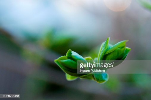 Freshly sprouted tree buds. : Stock Photo