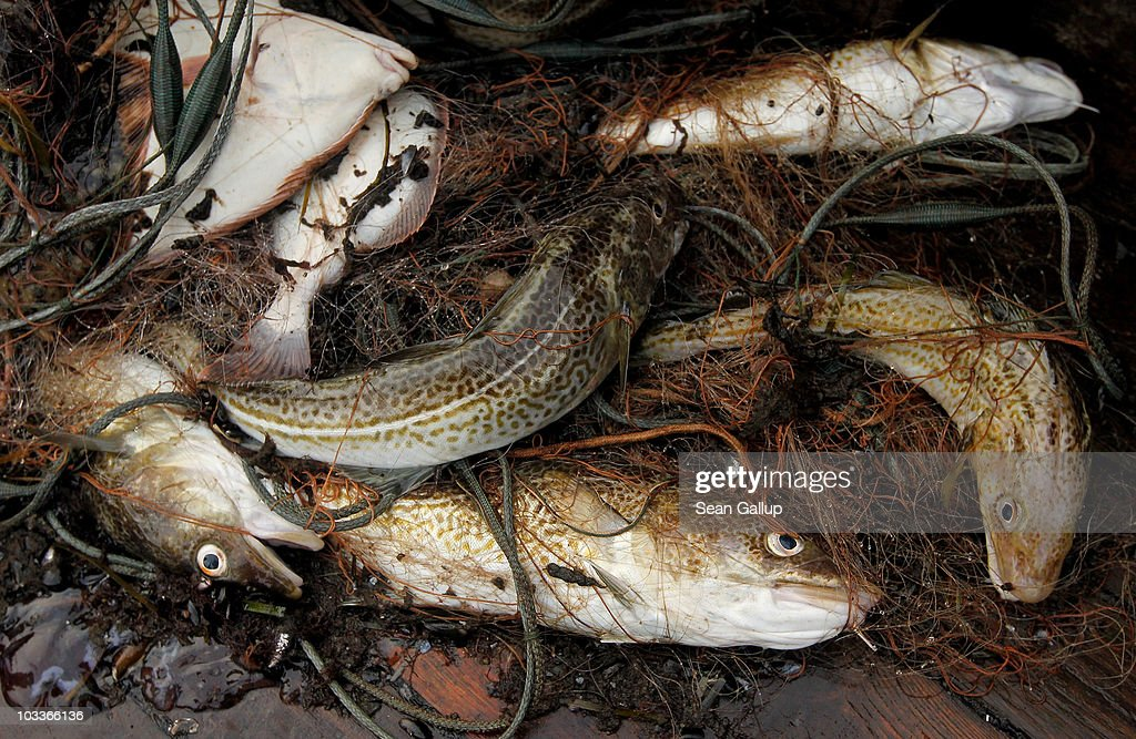 Freshlycaught cod and plaice lie in a fishing net on board the fishing boat of veteran fishermen Reinhard Lay and Klaus Raack on August 13 2010 in...