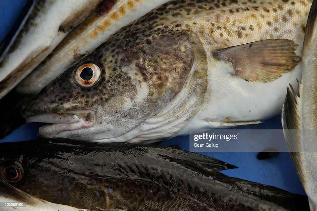 Freshlycaught cod lie in a tub on board the fishing boat of veteran fishermen Reinhard Lay and Klaus Raack on August 13 2010 in the Baltic Sea near...
