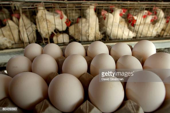 Freshlylaid eggs are collected for delivery to the local packing plant at the Aronheim family's egg farm on March 14 2008 in the farming community of...