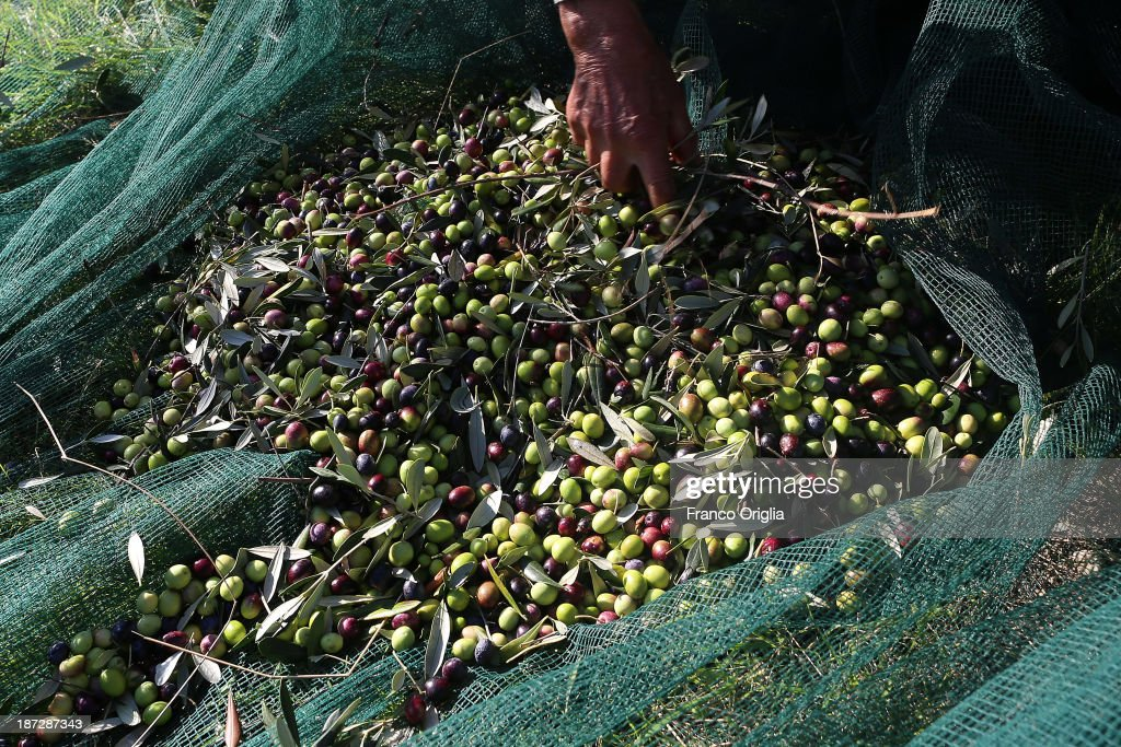 Freshly-picked olives are cleaned and processed to produce olive oil at the Castello La Leccia estate on November 7, 2013 in Castellina in Chianti (Siena), Italy. An optimal climate, fertile land and skilled hands make Tuscan extra virgin olive oil one of the most popular food product in and outside of Italy.