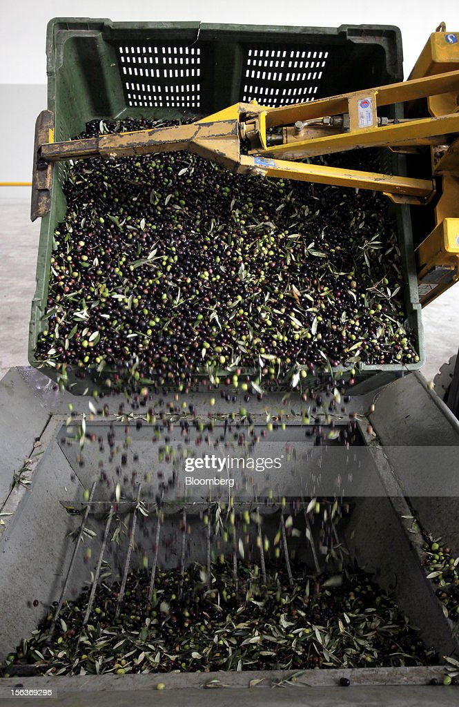 Freshly-picked olives fall as they are tipped into a cleaning machine ahead of processing into oil at Industria Olearia Biagio Mataluni Srl's factory in Montesarchio near Benevento, Italy, on Monday, Nov. 12, 2012. Italian olive-oil exports rose 5.7 percent to a record last year, boosted by demand from the U.S. as well as France and Germany, agricultural-markets researcher Ismea said. Photographer: Alessia Pierdomenico/Bloomberg via Getty Images