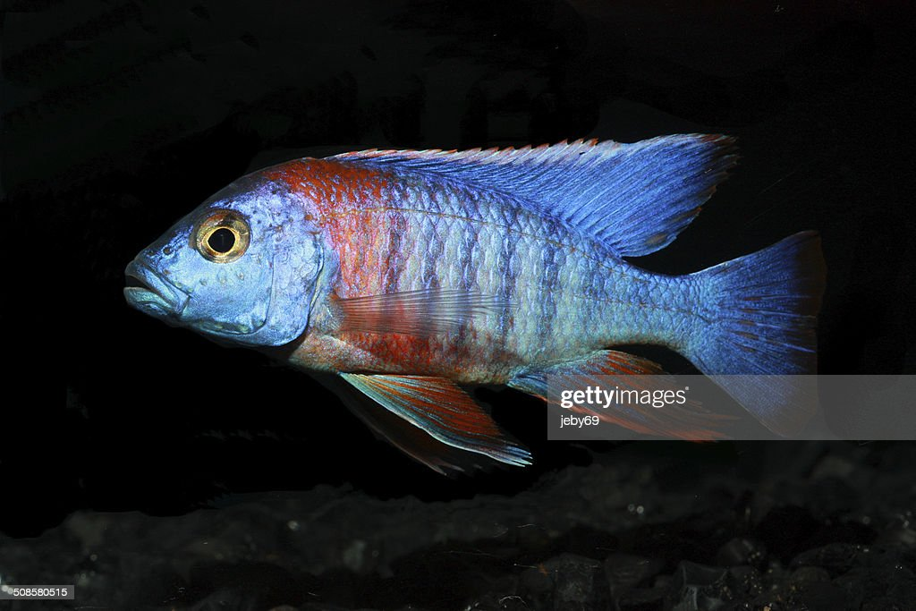 Freshwater Aquarium Fish : Stock Photo