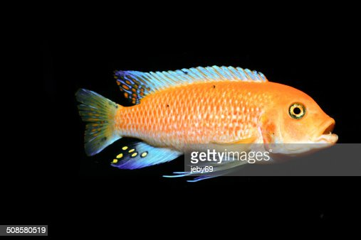 Freshwater Aquarium Fish : Stockfoto