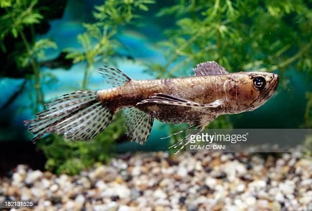 Freshwater butterflyfish or African butterflyfish Pantodontidae in aquarium