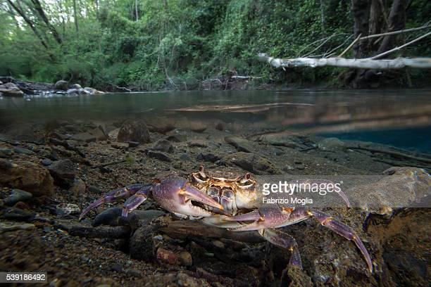 crabe d eau douce photos et images de collection getty images