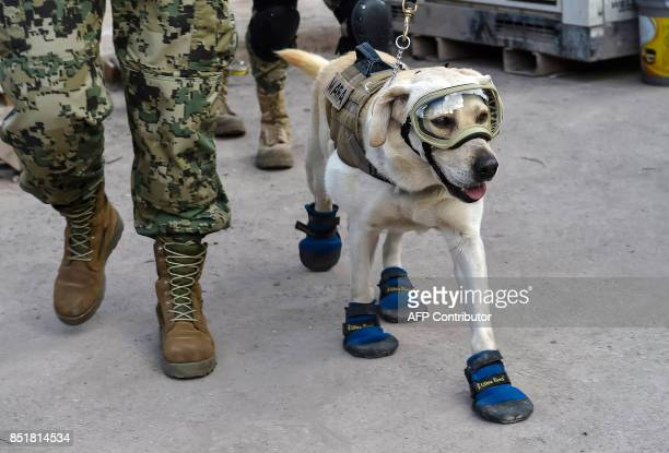 Frida a rescue dog belonging to the Mexican Navy with her handler Israel Arauz Salinas takes part in the effort to look for people trapped at the...
