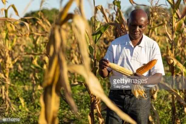 Friday Zinkamba a Zambian Sociologist at the Kabwe Research Station inspects landraces of Yellow Maize varieties