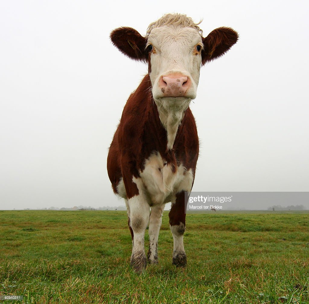 Friendly and melancholy cow : Stock Photo