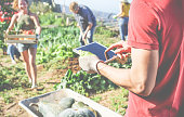 Friendly team harvesting fresh organic vegetables from the community greenhouse garden and planning harvest season on a digital tablet - Focus on man glove hand - Healthy lifestyle and summer concept