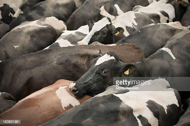 Friesen cows, full frame detail, high angle