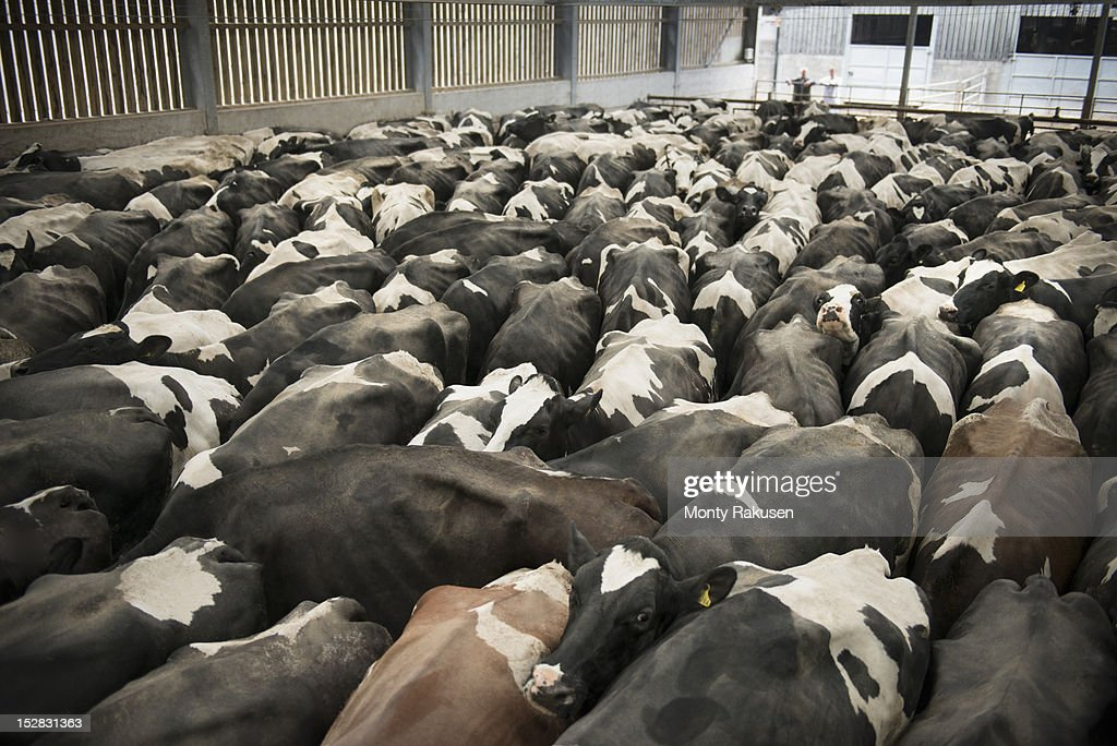 Friesen cows in dairy farm shed, high angle : Stock Photo