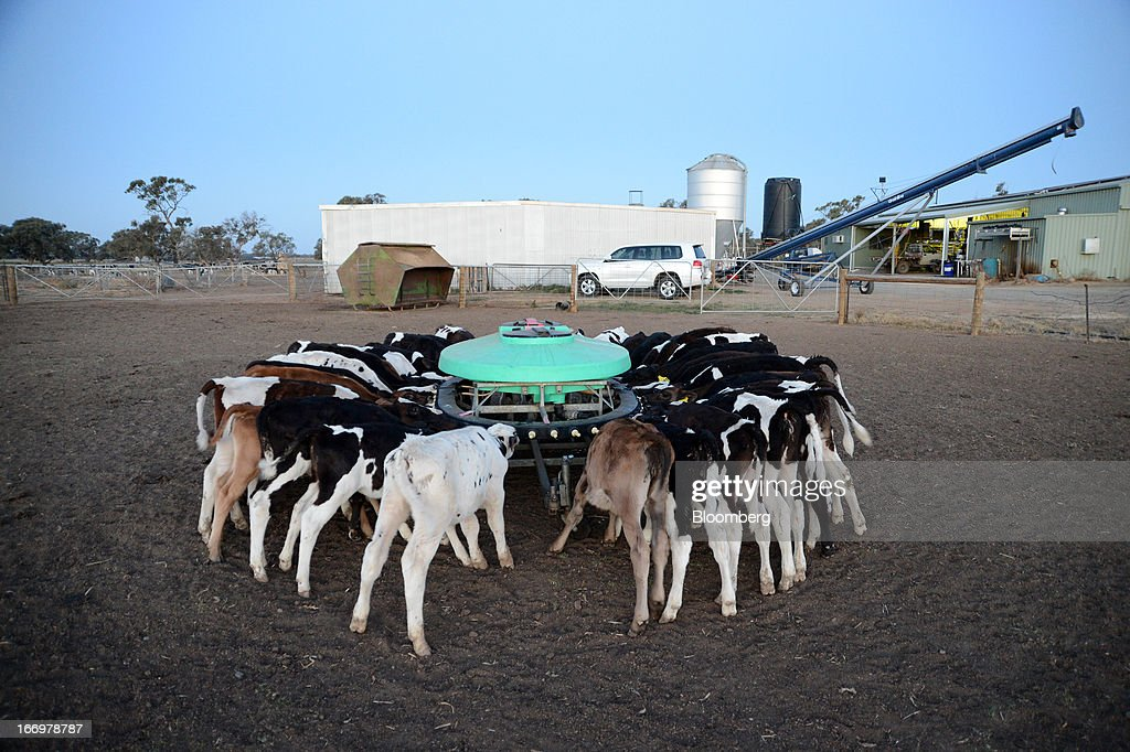 Friesian calves feed from a calf feeder at Pearson's Farm north of Moama, New South Wales, Australia, on Thursday, April 18, 2013. Farmers in Australia's A$4 billion ($4 billion) dairy industry are striking direct deals with supermarkets that control 80 percent of the country's grocery sector, as a drive to sell milk for A$1 a liter ($3.92 a gallon) squeezes profits. Photographer: Carla Gottgens/Bloomberg via Getty Images