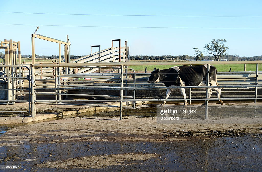 A Friesian cow exits the milking parlor at Pearson's Farm north of Moama, New South Wales, Australia, on Thursday, April 18, 2013. Farmers in Australia's A$4 billion ($4 billion) dairy industry are striking direct deals with supermarkets that control 80 percent of the country's grocery sector, as a drive to sell milk for A$1 a liter ($3.92 a gallon) squeezes profits. Photographer: Carla Gottgens/Bloomberg via Getty Images