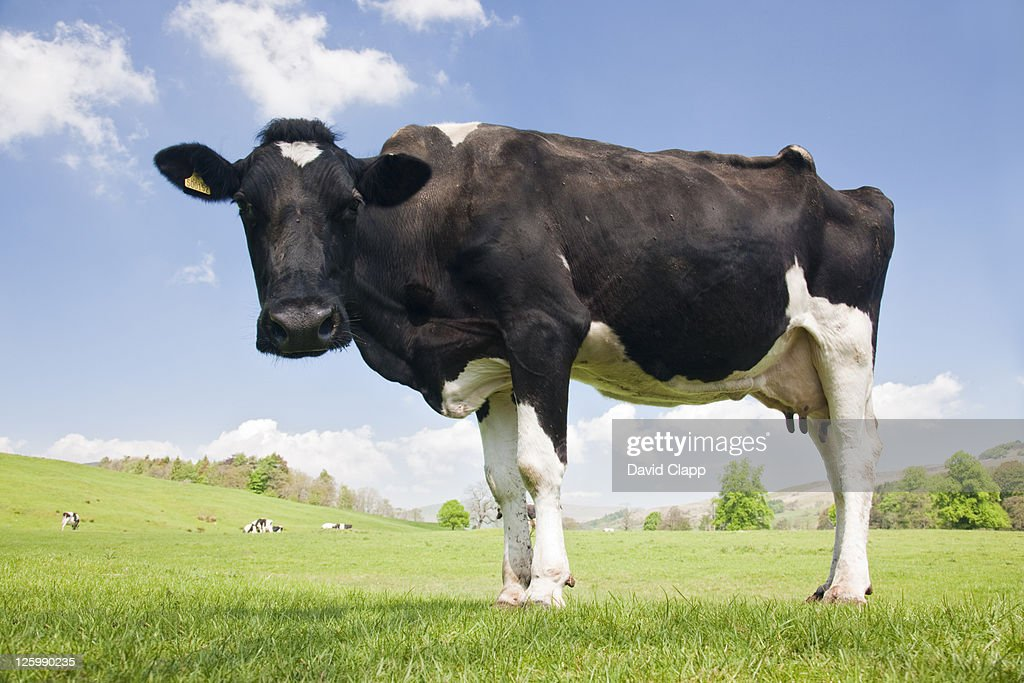 Friesian Cow (Bos taurus) in field, Forest of Bowland, Lancashire, England, UK : Stock Photo