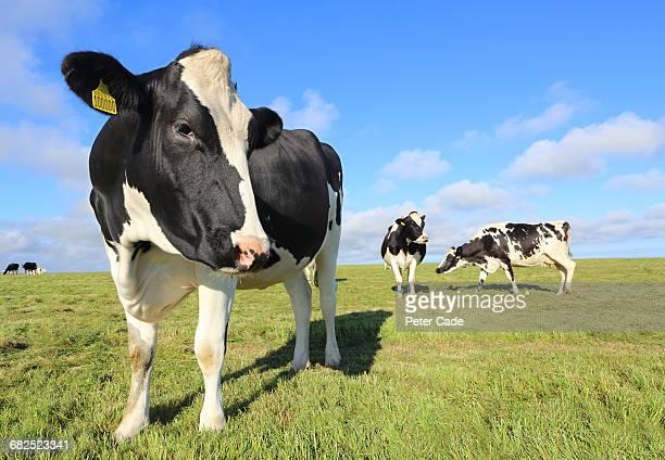 Friesian cows in field