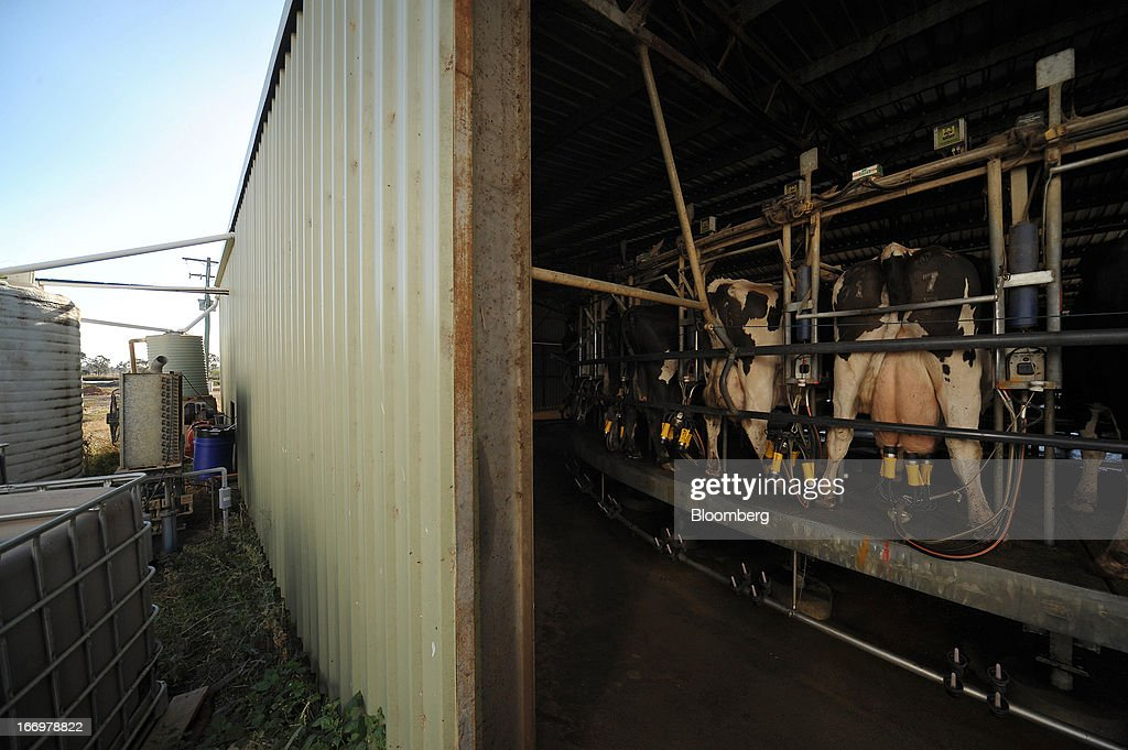 Friesian cows stand on a rotary milking parlor, which slowly rotates while they are being fed and milked, in the milkhouse at Pearson's Farm north of Moama, New South Wales, Australia, on Thursday, April 18, 2013. Farmers in Australia's A$4 billion ($4 billion) dairy industry are striking direct deals with supermarkets that control 80 percent of the country's grocery sector, as a drive to sell milk for A$1 a liter ($3.92 a gallon) squeezes profits. Photographer: Carla Gottgens/Bloomberg via Getty Images