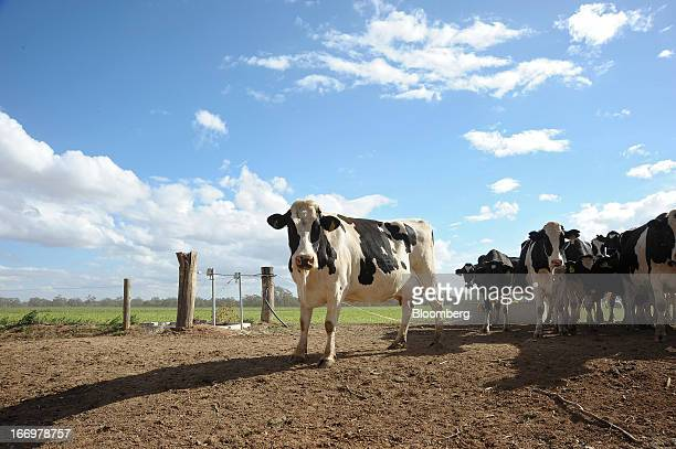 Friesian cows walk along a path at Pearson's Farm north of Moama New South Wales Australia on Thursday April 18 2013 Farmers in Australia's A$4...
