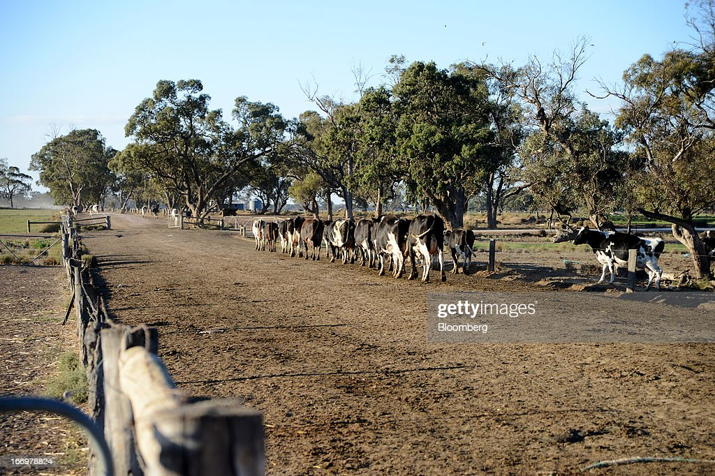 Friesian cows walk along a path at Pearson's Farm north of Moama, New South Wales, Australia, on Thursday, April 18, 2013. Farmers in Australia's A$4 billion ($4 billion) dairy industry are striking direct deals with supermarkets that control 80 percent of the country's grocery sector, as a drive to sell milk for A$1 a liter ($3.92 a gallon) squeezes profits. Photographer: Carla Gottgens/Bloomberg via Getty Images