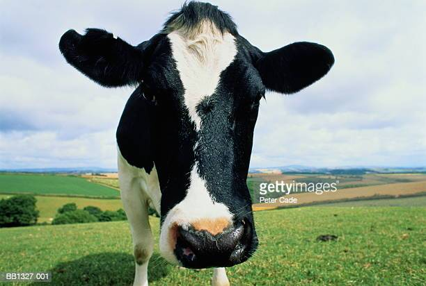 Friesian dairy cow (Bos taurus) in rolling pasture, head-shot