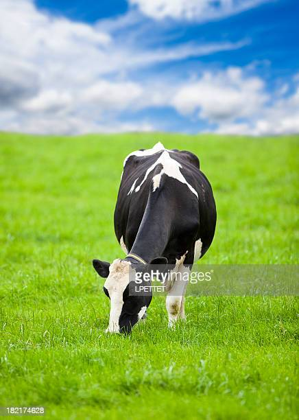 Friesian Holstein Cow