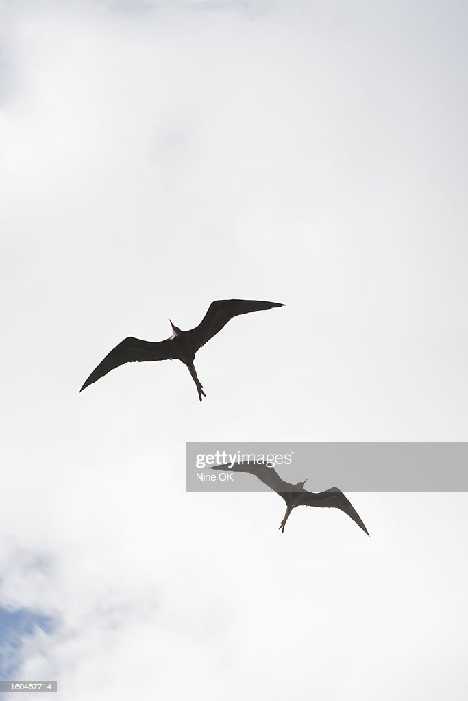 Frigate birds : Stock Photo