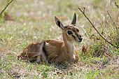 Frightened Wild Baby Thomson's Gazelle