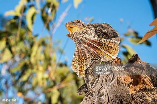 Frilled dragon, Australia