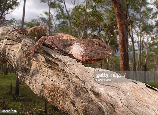 Frilled Dragon (Chlamydosaurus kingii)