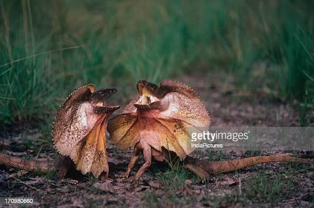 Frilled lizards Kakadu National Park Western Australia