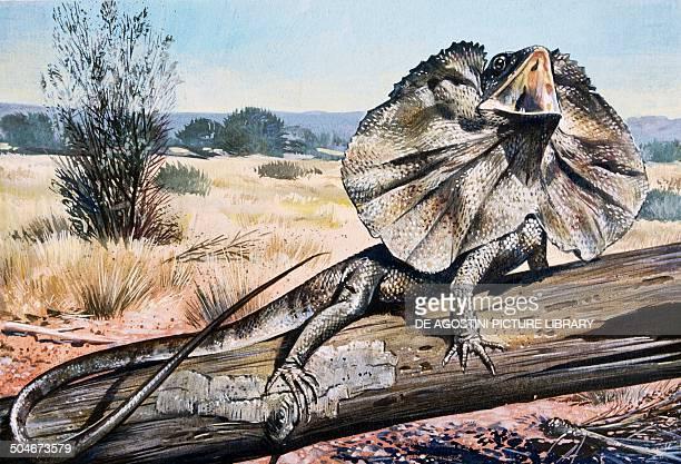 Frilledneck Lizard or Frilled Dragon Agamidae drawing