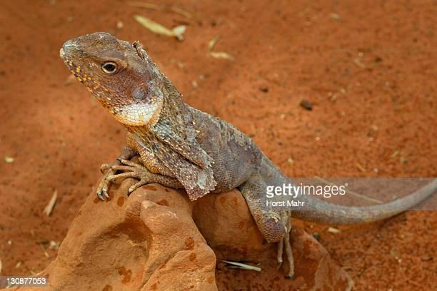 Frill-necked - Frilly Lizard or Frilled Dragon (Chlamydosaurus kingii), Alice Springs, Northern Territory, Australia