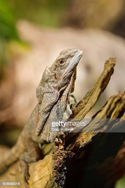 Frill-necked lizard on a dead branch