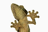 Fringed gecko. (Uroplatus henkeli) View from below showing specially adapted feet. Dist. Madagascar