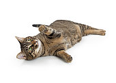 Frisky young tabby cat lying on its side with paw lifted to play