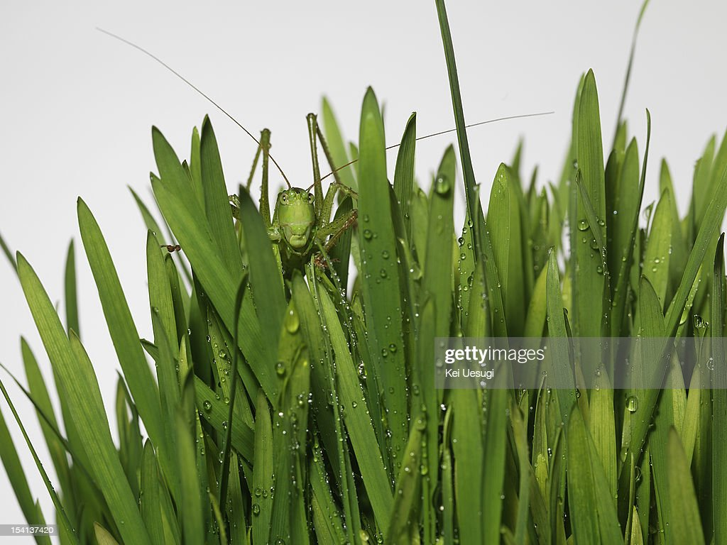 Frof & Grasshopper : Stock Photo